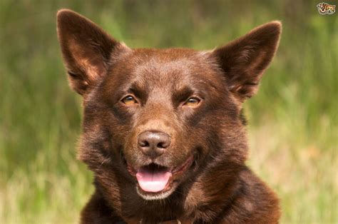 kelpie breed australian kelpie breed information buying advice photos and facts pets4homes