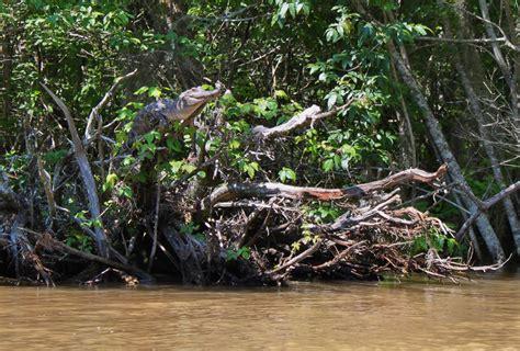 gator tree beware in the bayou alligators and crocodiles can climb