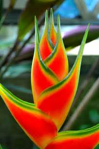 heliconia color flowers world flower heliconia
