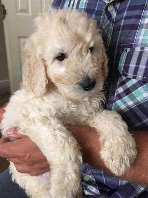 goldendoodle puppy potty goldendoodle litter boys ready now scunthorpe