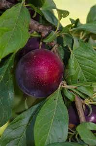 the amazing burgundy plums