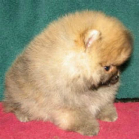 great pomeranian great pomeranian puppies for sale handmade michigan