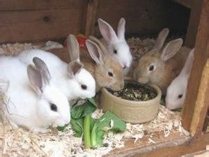come allevare conigli in gabbia allevamento conigli conigli consigli per allevare conigli