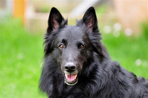 belgian sheepdog puppies belgian sheepdogs belgian shepherd belgian sheepdog belgian breeds picture