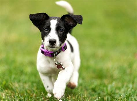 russel terrier puppy terrier breed information pictures characteristics facts