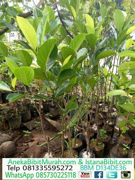 Bibit Nangkadak Di Jawa Timur jual bibit nangka madu unggul harga murah aneka bibit murah
