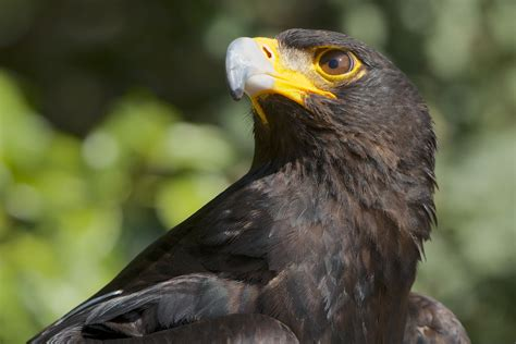 Aquila Hitam the top ten largest eagles in the world