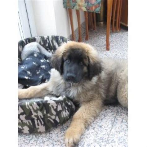leonberger puppies mn shanlous leonberger breeder in ipswich suffolk listing id 16209