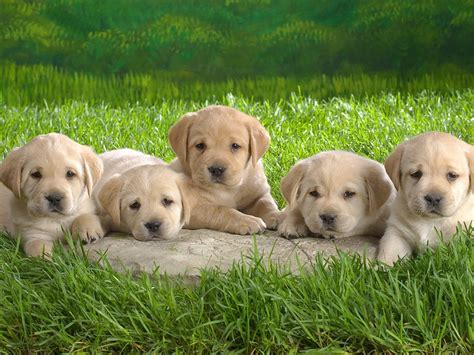 small lab small lab 28 images labrador retriever pictures breed