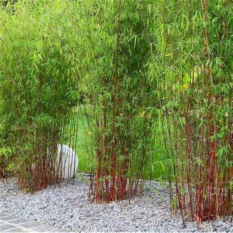 gareth austin add an exotic touch with bamboo in the garden firmus energy