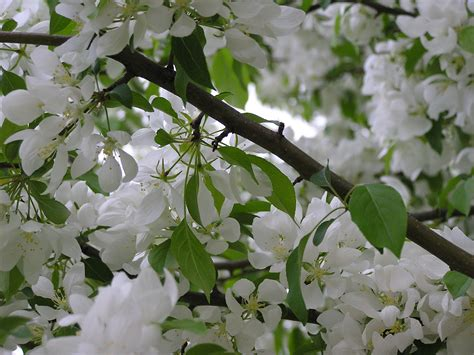 photo white flowering tree sketchflood