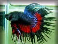 Makan Ikan Cupang Pelet jenis jenis ikan hias kecil yang cantik ikan hias