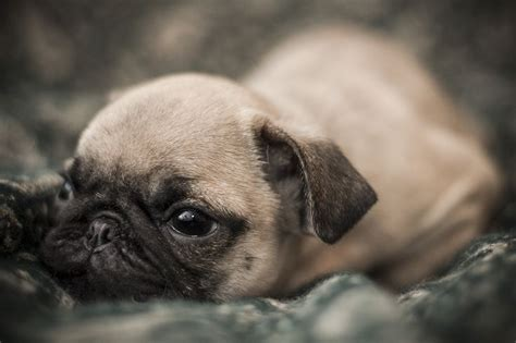 where can i get a pug 1000 images about pug loverz on pug a pug and pug puppies