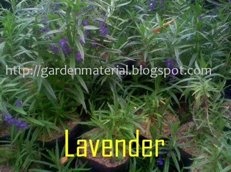 mengenal hama tanaman tanaman lavender