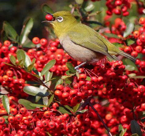 Vitamin Untuk Burung Kicau buah dan sayur kesukaan burung kicau lengkap binatang