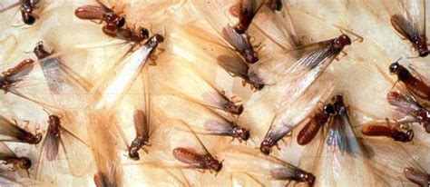 termite custom woodworks how to avoid a termite infestation for your home barker