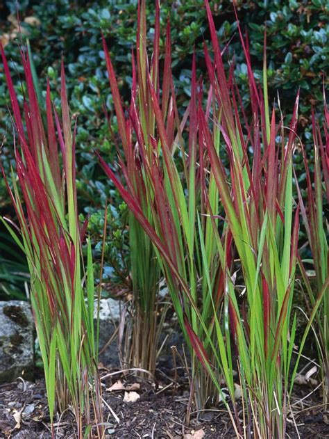 best 25 perennial grasses ideas on pinterest foliage ornamental plant summer bedding plants