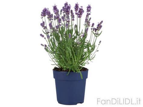 lavanda vaso lavanda fiori fan di lidl