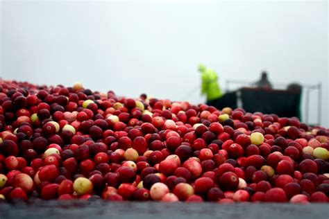 cranberry harvest rain or shine