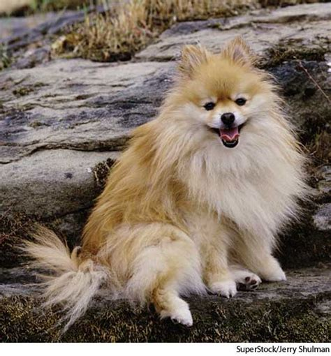 define pomeranian pomeranian dictionary definition pomeranian defined