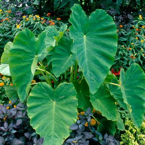 buy elephant s ears bulb colocasia esculenta delivery by