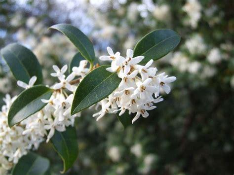 fiori di osmanto osmanthus aquifolium piante da giardino