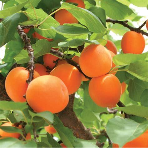 fruit tree nursery oregon moorpark apricot tree ison s nursery vineyard