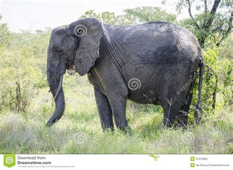 bull elephant gallery shoor travel elephant bull stock photo image 51210895