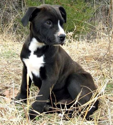 labrador pitbull mix puppy labrador retriever mix pitbull photo happy heaven