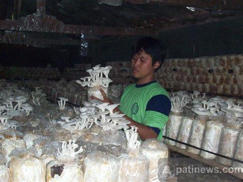 Bibit Jamur Tiram Semarang pengusaha asal gembong ini sukses bisnis jamur tiram