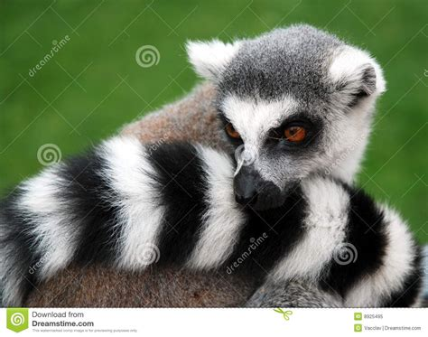 pictures of animals lemur pictures search