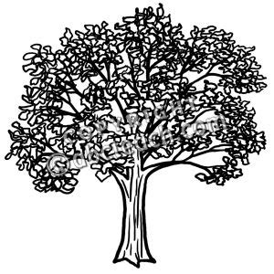 narra tree coloring page nara clipart clipground