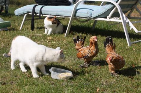 Backyard Chickens Cats Backyard Chickens Cats 28 Images Chickens And Cats