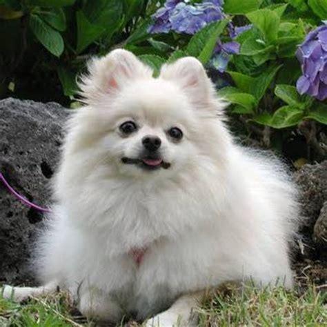 how to care for a pomeranian pet advice ideas guides 187 archive 187 how to care for a pomeranian