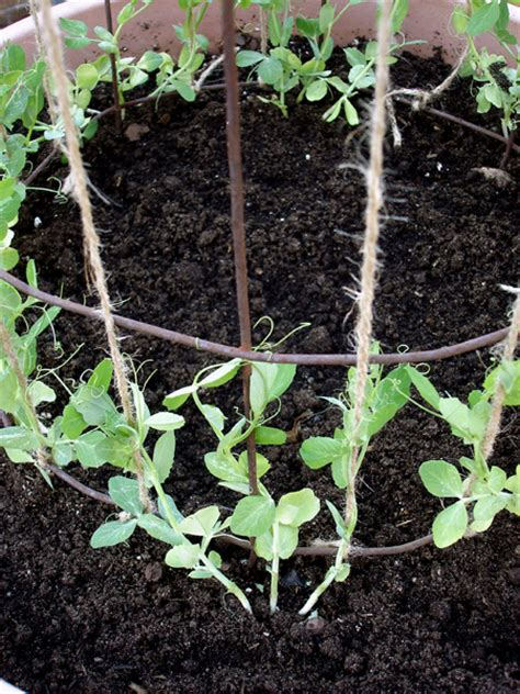 container gardening peas growing green peas bonnie plants