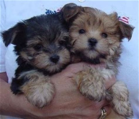 local yorkie puppies healthy teacup yorkie puppies for adoption home local media