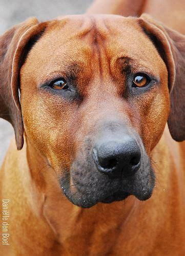 rhodesian ridgeback colors rhodesian ridgeback dogs rhodesian ridgebacks
