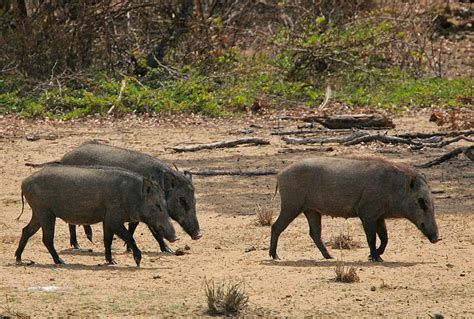 Lightly Synonym Wiki Wild Boar Upcscavenger