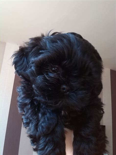black shih tzu puppies for sale black shih tzu puppies batley west pets4homes
