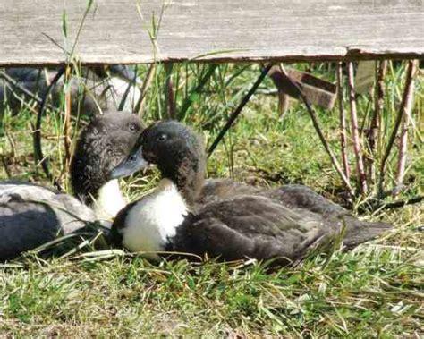farm breeds farm duck breeds