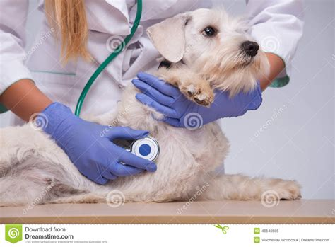 puppy check up veterinarian examines with stock photo image 48640686