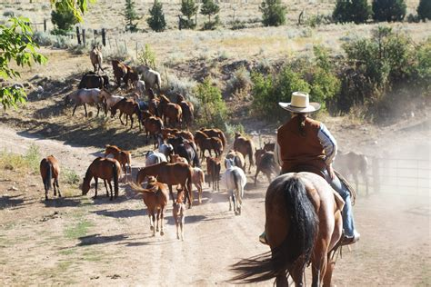 how to a working for cattle preparing for a cattle drive dryhead ranch