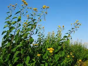 Flowers Seeds Online - jerusalem artichoke flowers