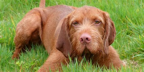Wirehaired Vizsla   Information, Characteristics, Facts, Names