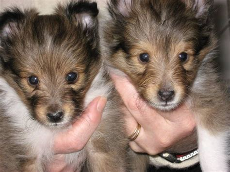 sheltie puppies for adoption sheltie puppies for sale for sale adoption from wolfeboro new hshire adpost