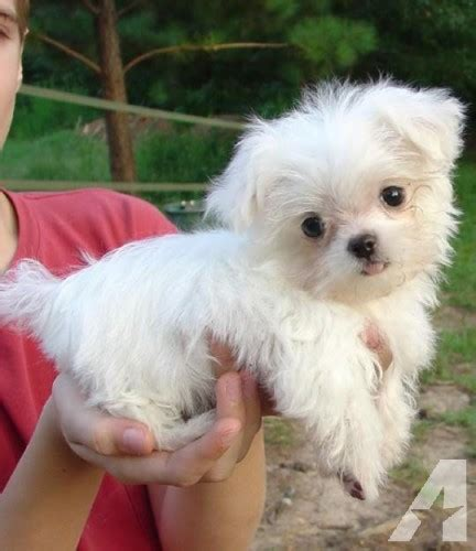 maltese puppies for sale in ny lovely and teacup maltese puppies for adoption for sale in new york new