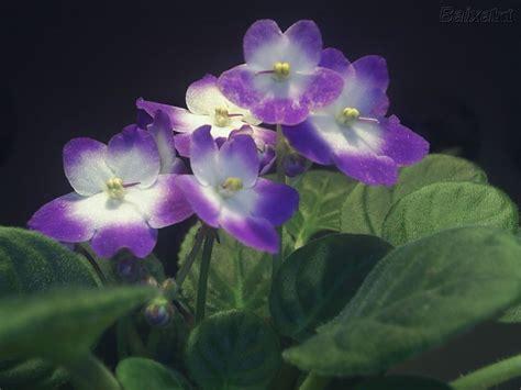 imagenes de flores llamadas violetas primavera mi siglo