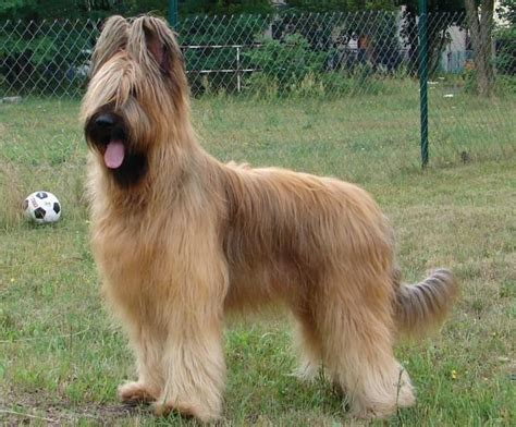 briard breed briard a great herding herding breeds we and hair
