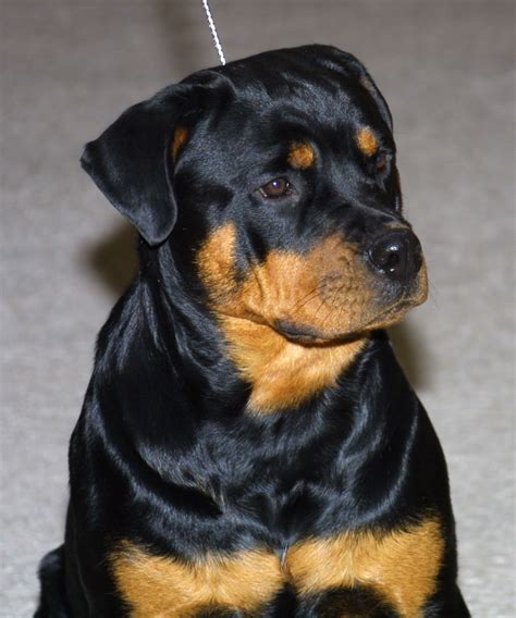 rottweiler breeders canada rottweiler breeders canada dogs in our photo