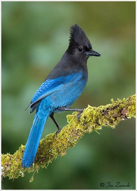stellar s jay birds i know pinterest